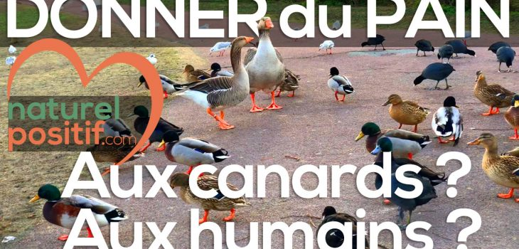 Donner du pain aux canards